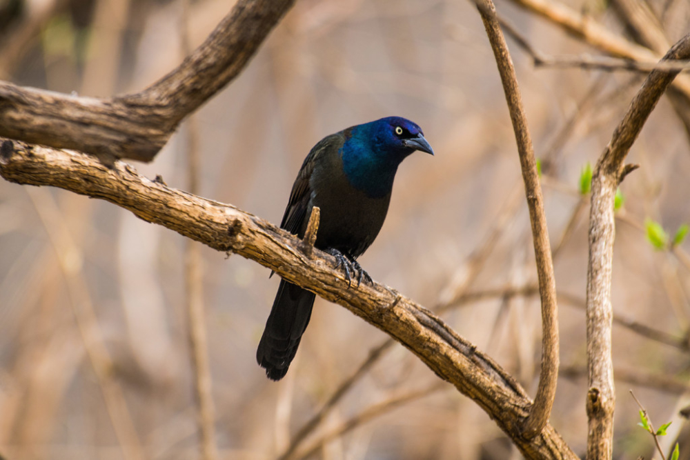 Feb20-Grackle